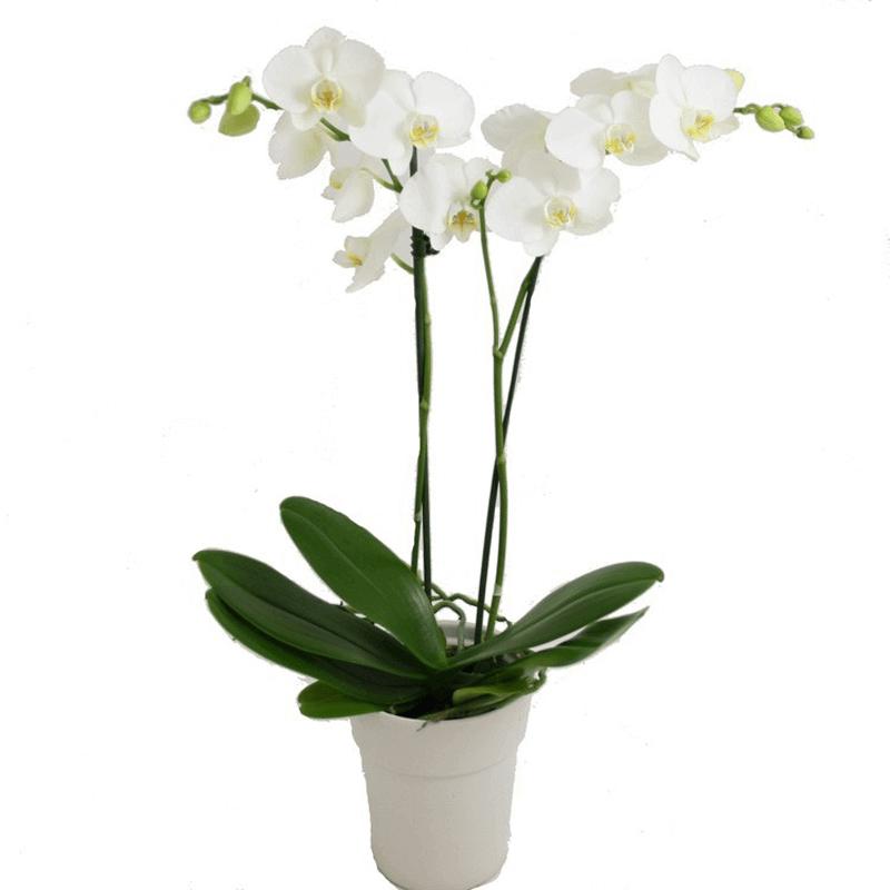 Phalaenopsis Elegant Orchid