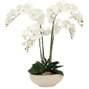 Phalaenopsis Elegant Orchid 4 stems