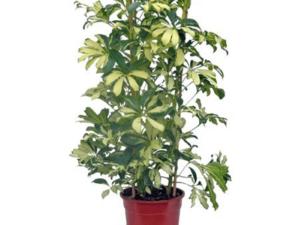 Schefflera House Plant