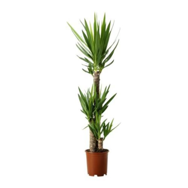 Yucca Elephantipes Plant