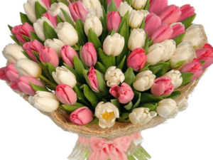 Pink and White Blush Tulips